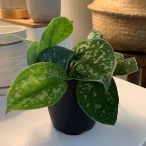 Silver satin pothos plant Scindapsus Pictus